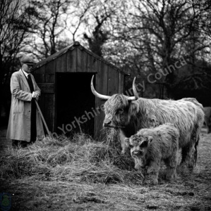 Highland Cattle, Easingwold